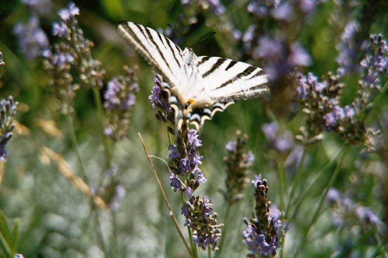 """Schmetterling """"Garten auf Rhodos"""""""