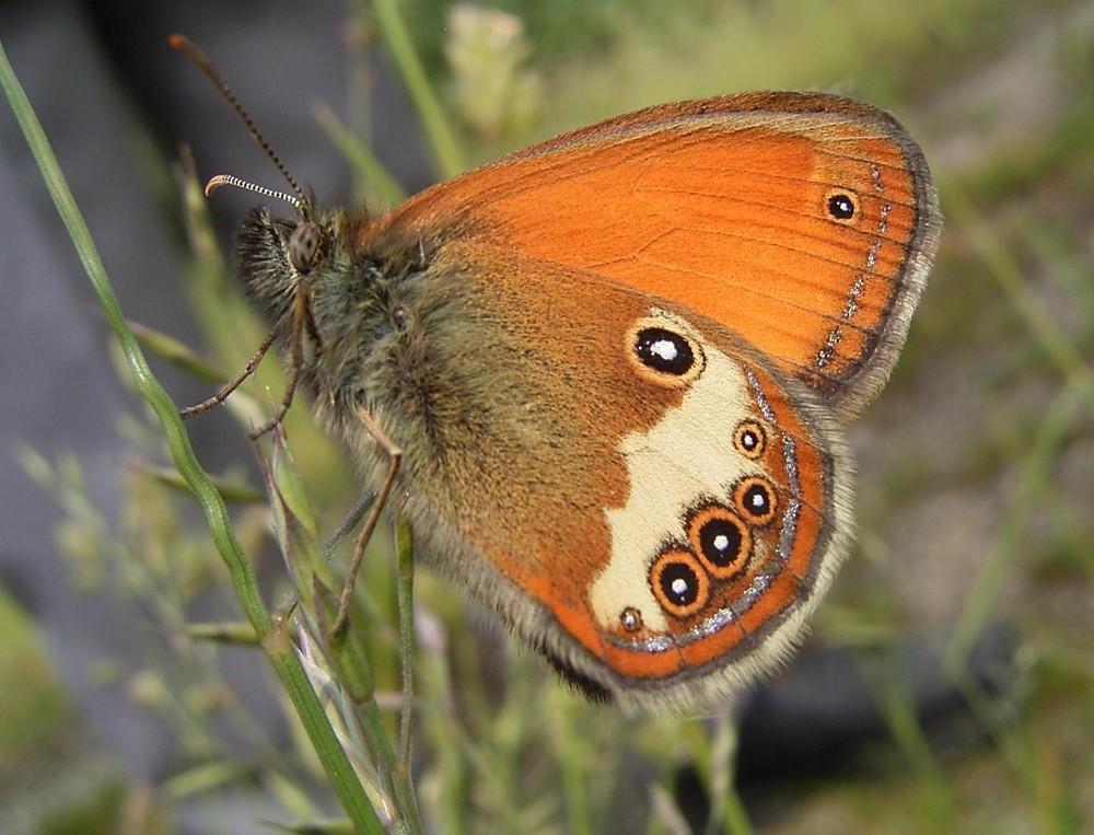 Schmetterling (Heufalter)