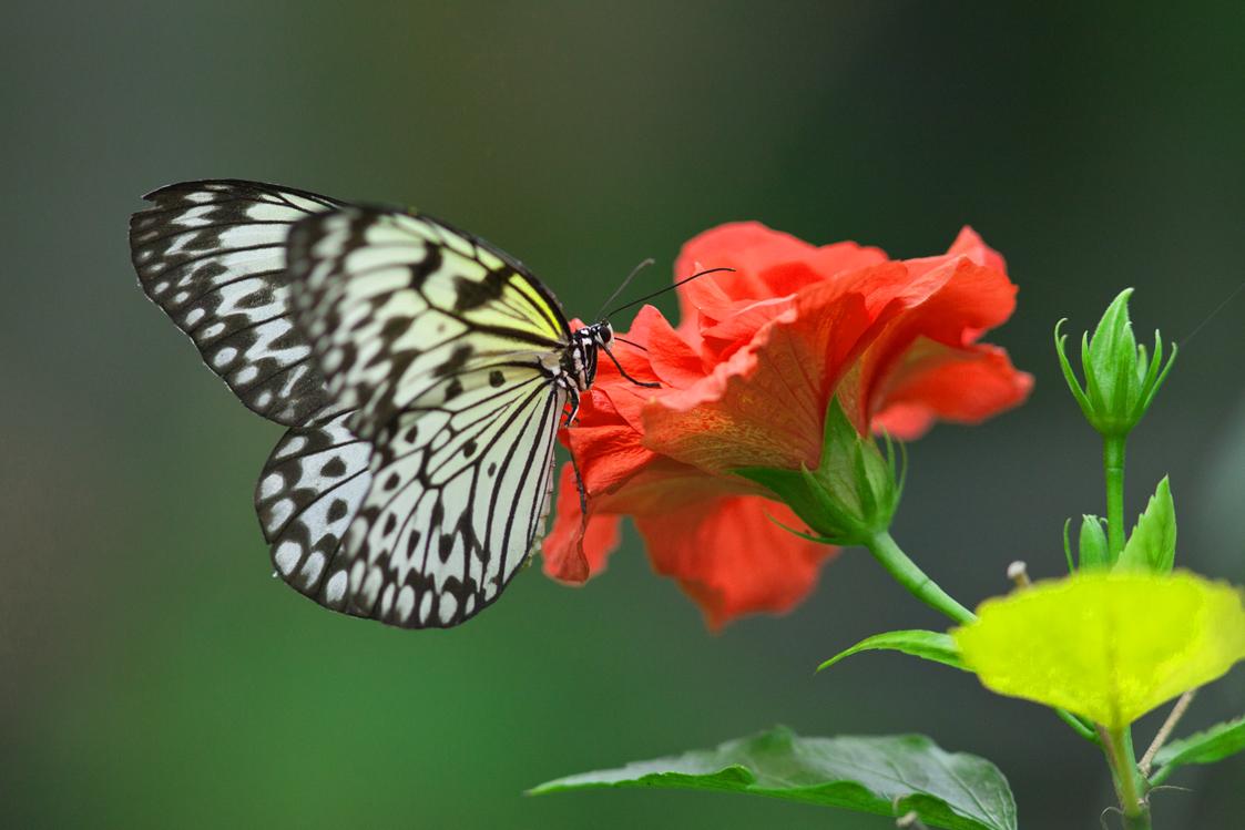 Schmetterling Idea leu conoe, aus der Verwandtschaft des Monarchfalters)