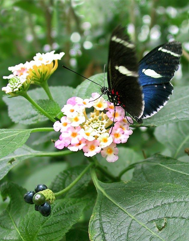 Schmetterling II