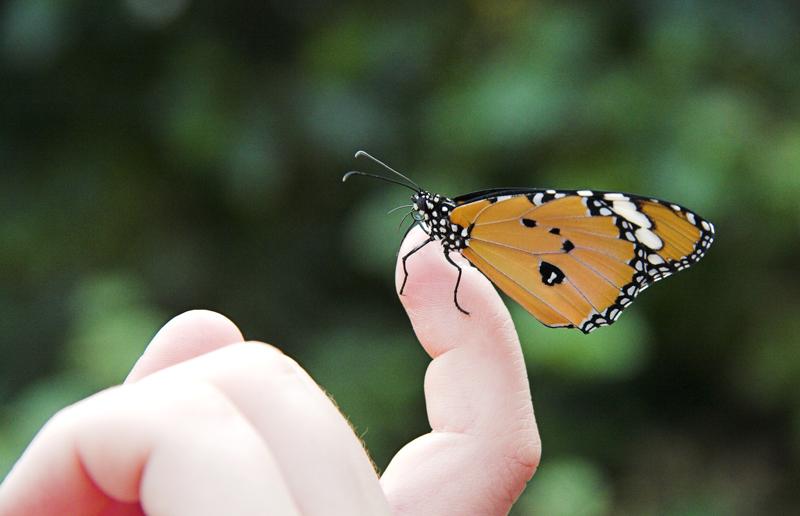 ... Schmetterling III ...