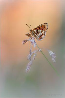 Schmetterling im Abendlicht