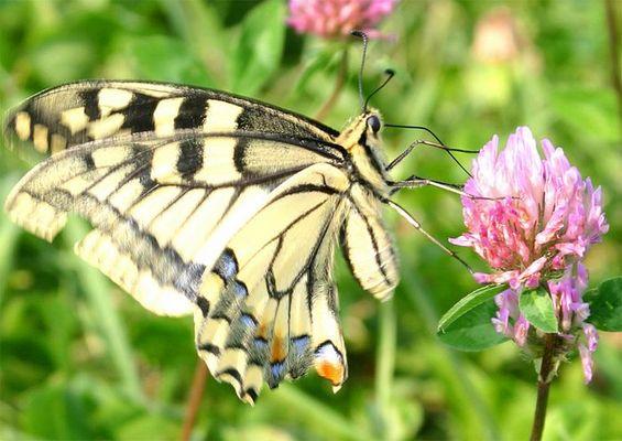 Schmetterling im Ballanceakt