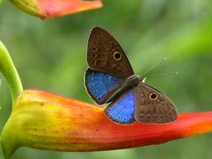 Schmetterling im Bergnebelwald in Ecuador (1)