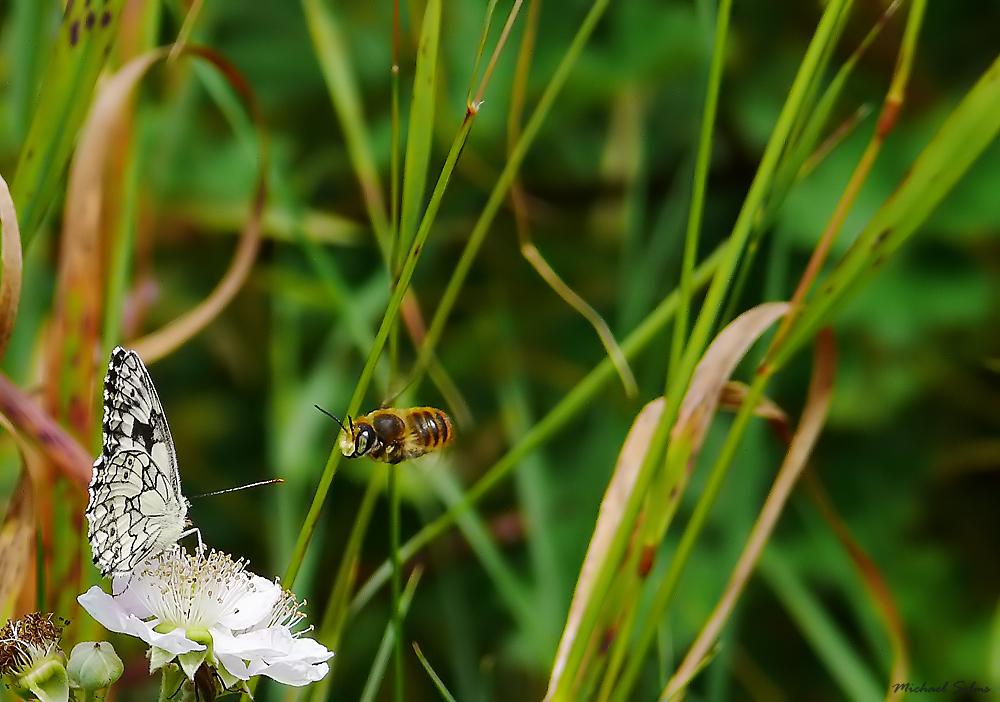 Schmetterling im Bienenauge