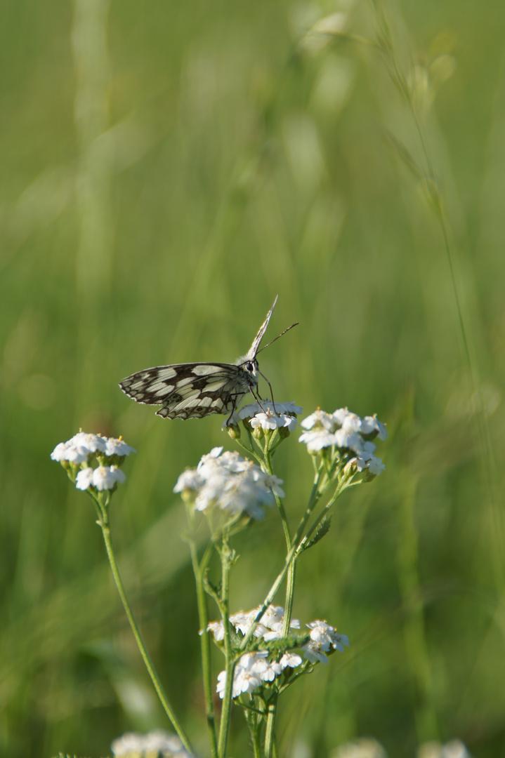Schmetterling im Feld