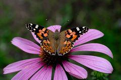 Schmetterling im Garten 1