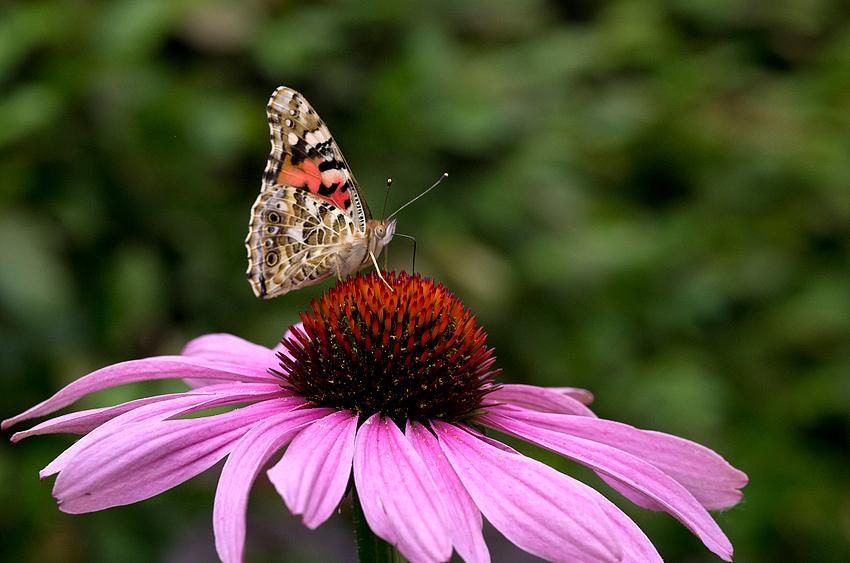 Schmetterling im Garten 2