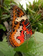 Schmetterling im Krefelder Zoo 3