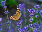 Schmetterling im Lavendel