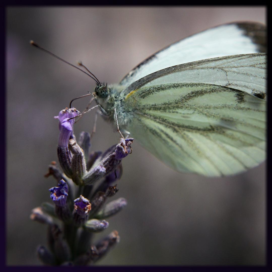 Schmetterling im Lavendelbusch Nr. 1