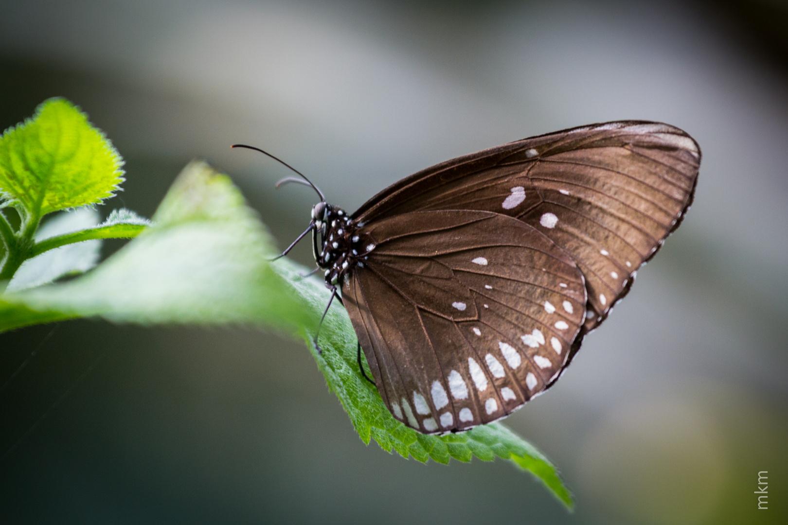 Schmetterling im Luisenpark