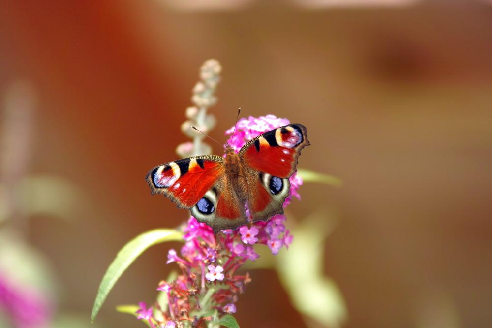 Schmetterling im Nektarrausch
