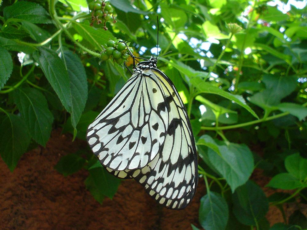 Schmetterling im Papilliorama Kerzers