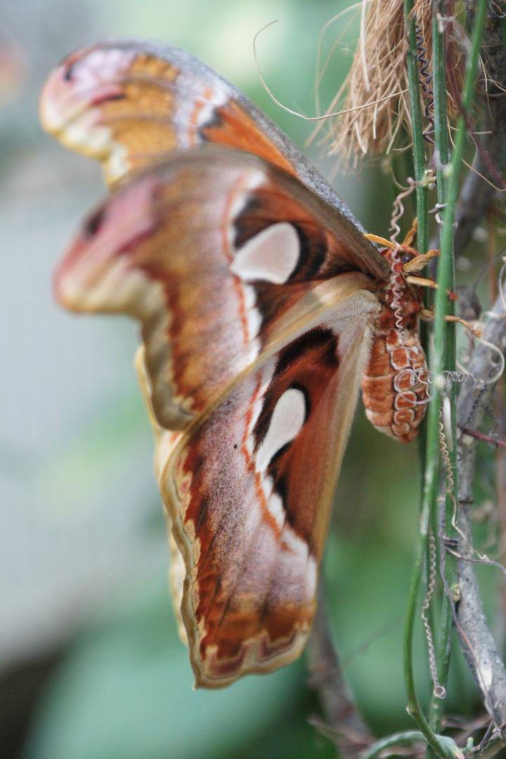 Schmetterling im Profil
