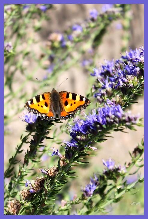 Schmetterling im Salbei