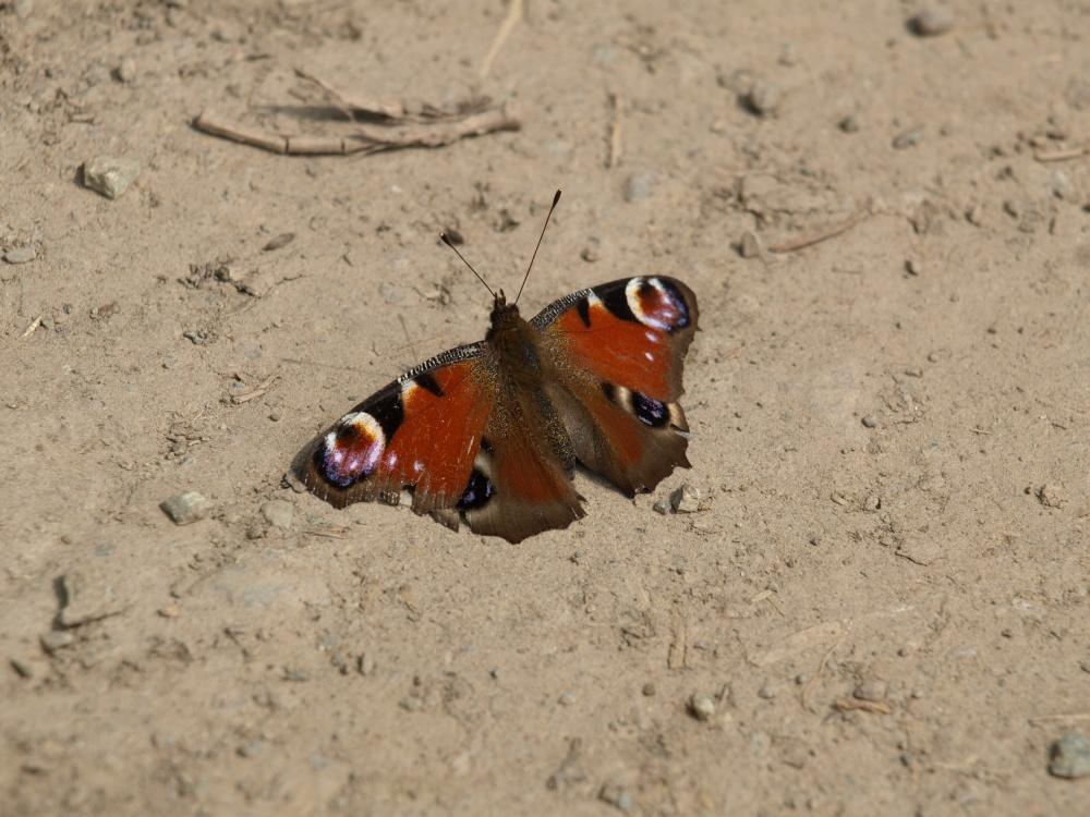 Schmetterling im Sand