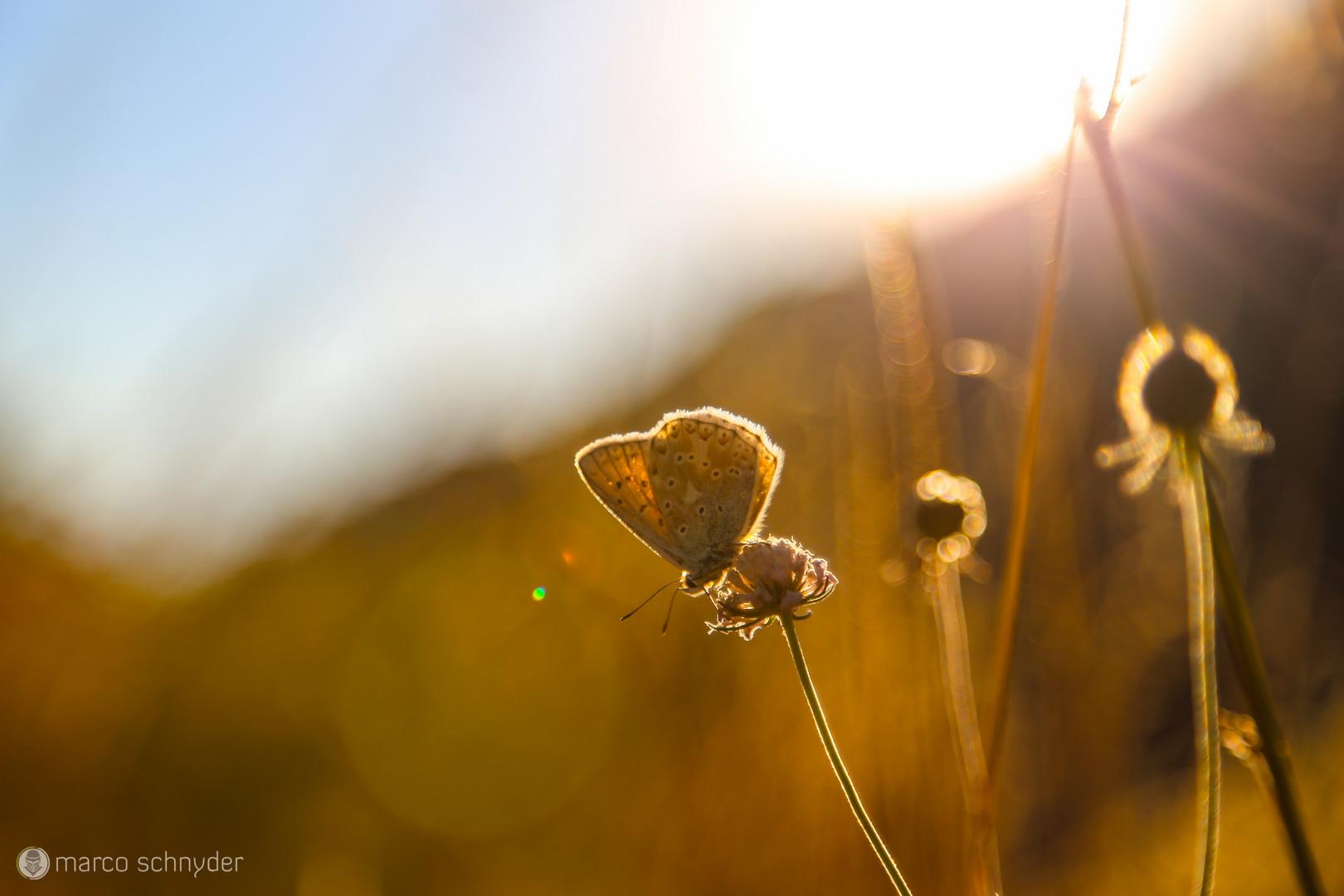 Schmetterling im Sonnenuntergang ;)