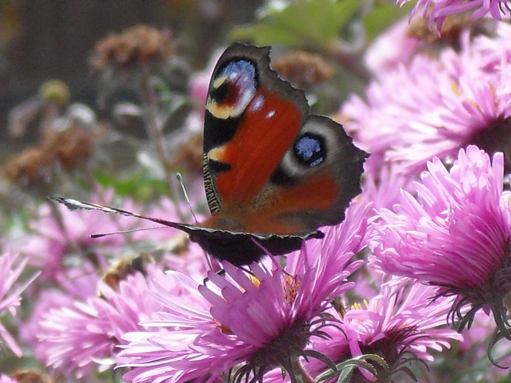 Schmetterling im Spätsommer