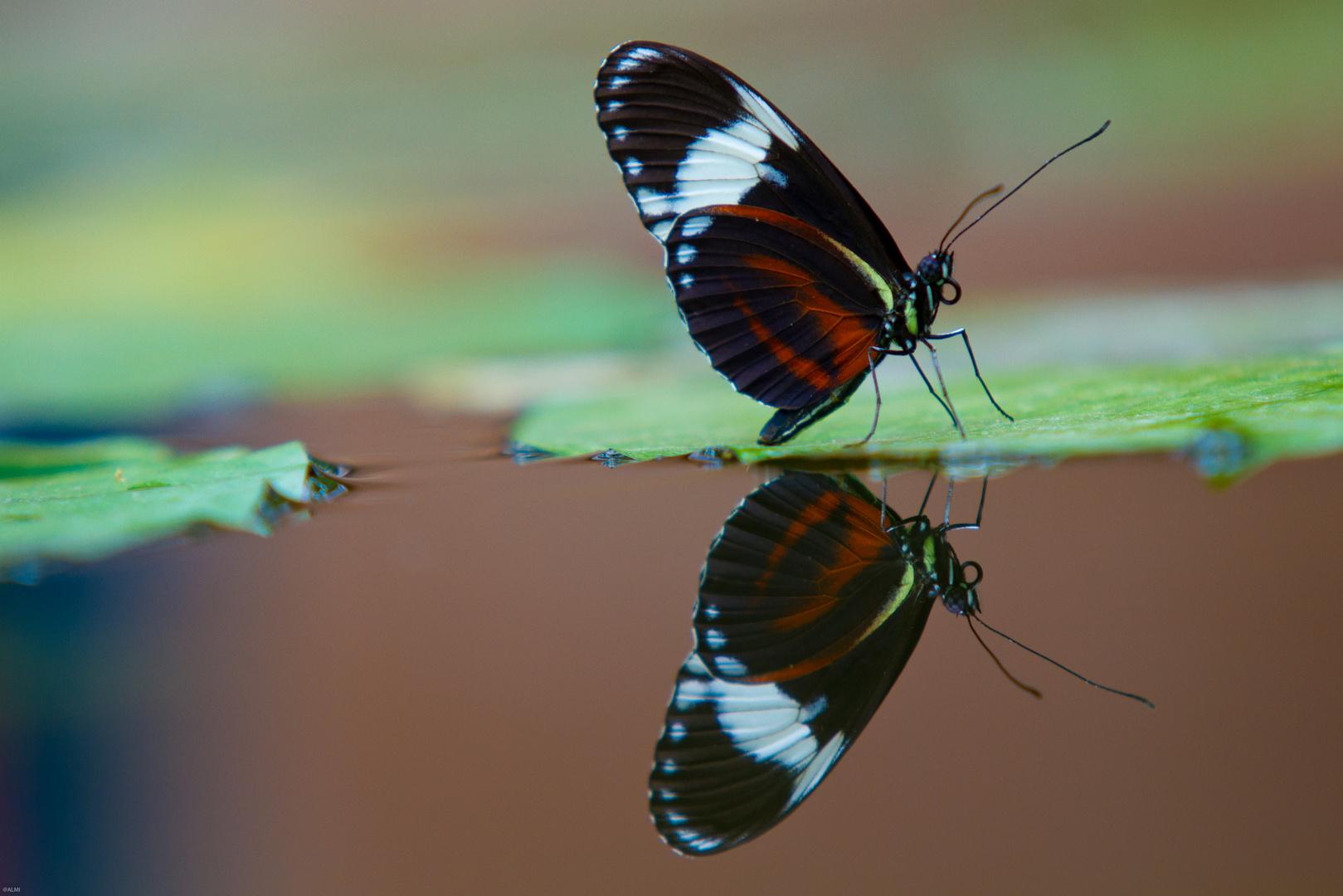 Schmetterling im Spiegelbild