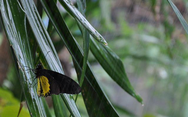 Schmetterling im Tropenregen