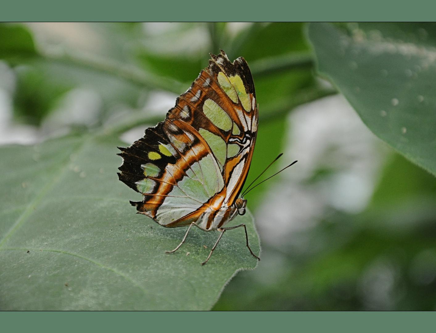 Schmetterling im Vlindertuin