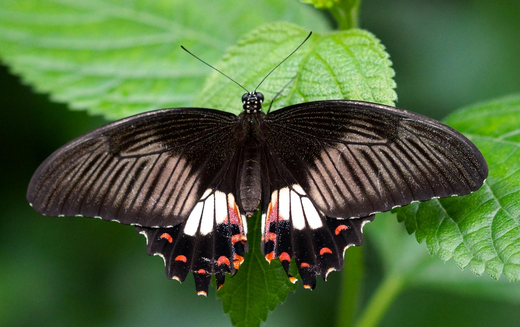 Schmetterling im Zoo Krefeld 3