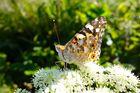 Schmetterling in Abendsonne