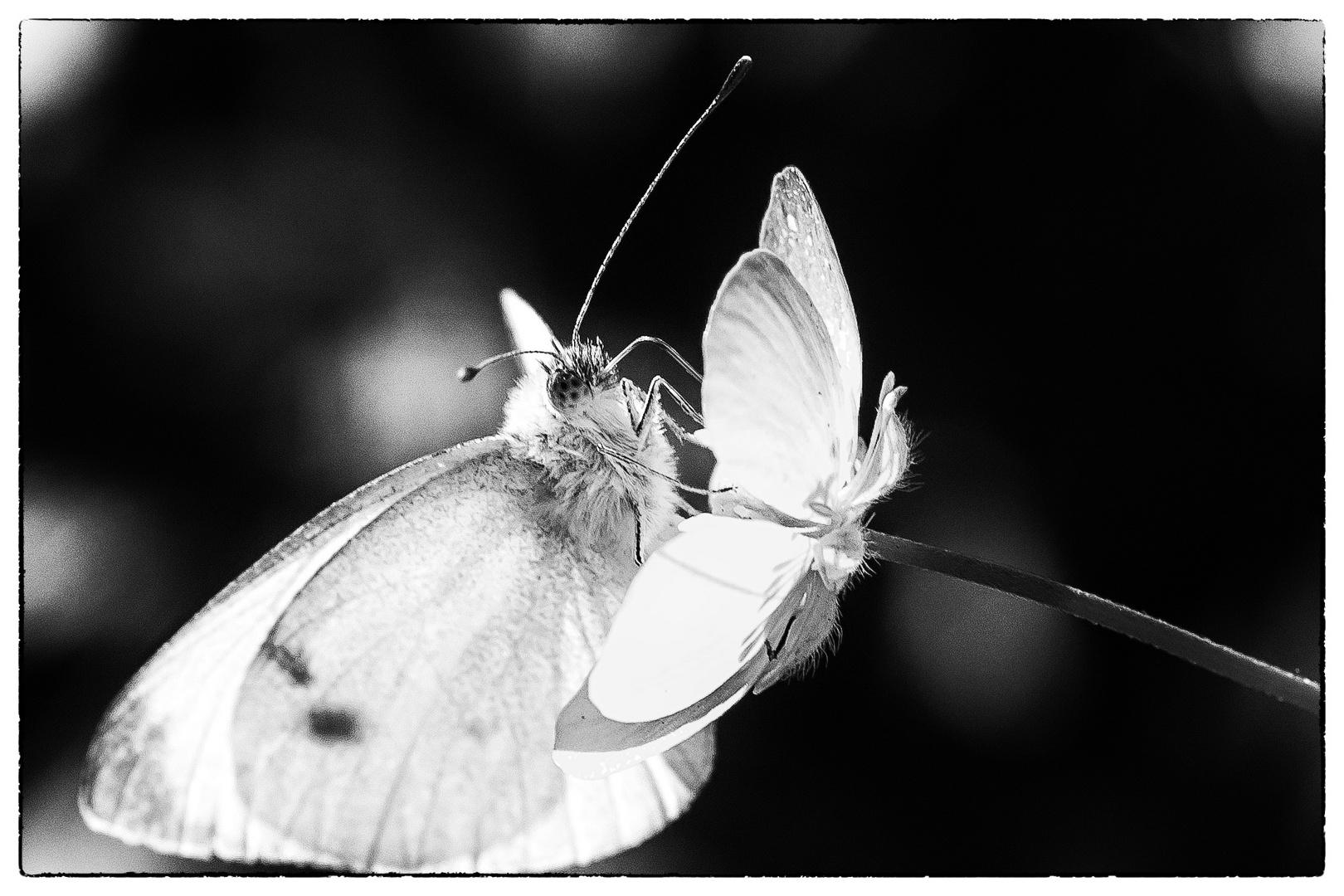Schmetterling in Aktion...