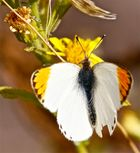 Schmetterling in Andalusien
