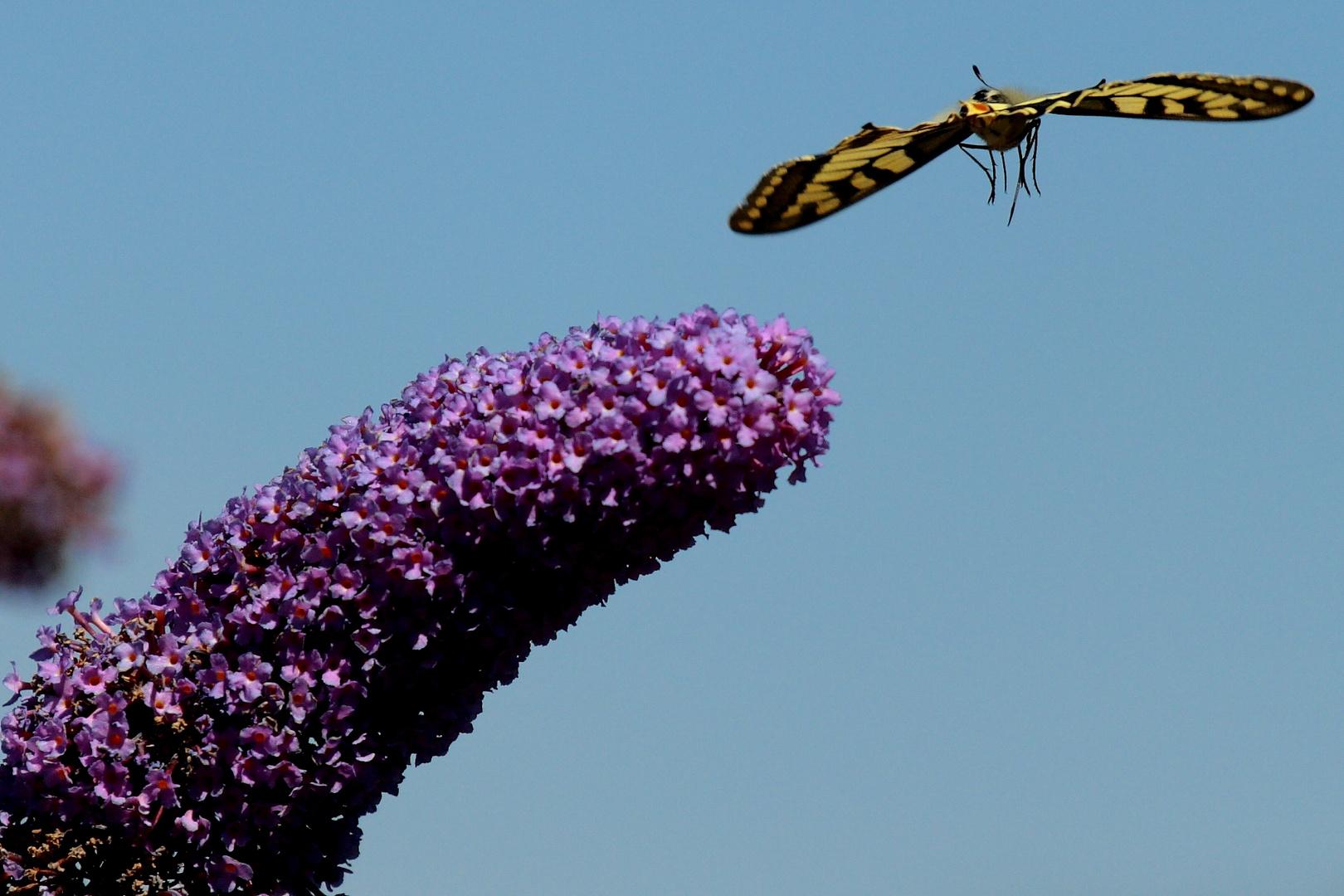 Schmetterling in Anflug