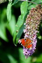 Schmetterling in Blume