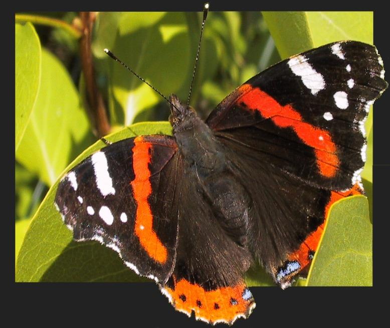 Schmetterling in der FC