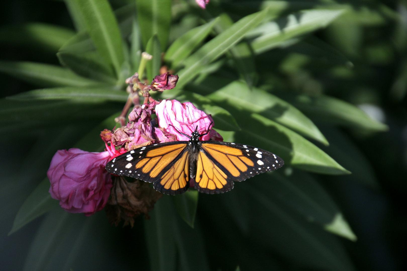 Schmetterling in der Karibik