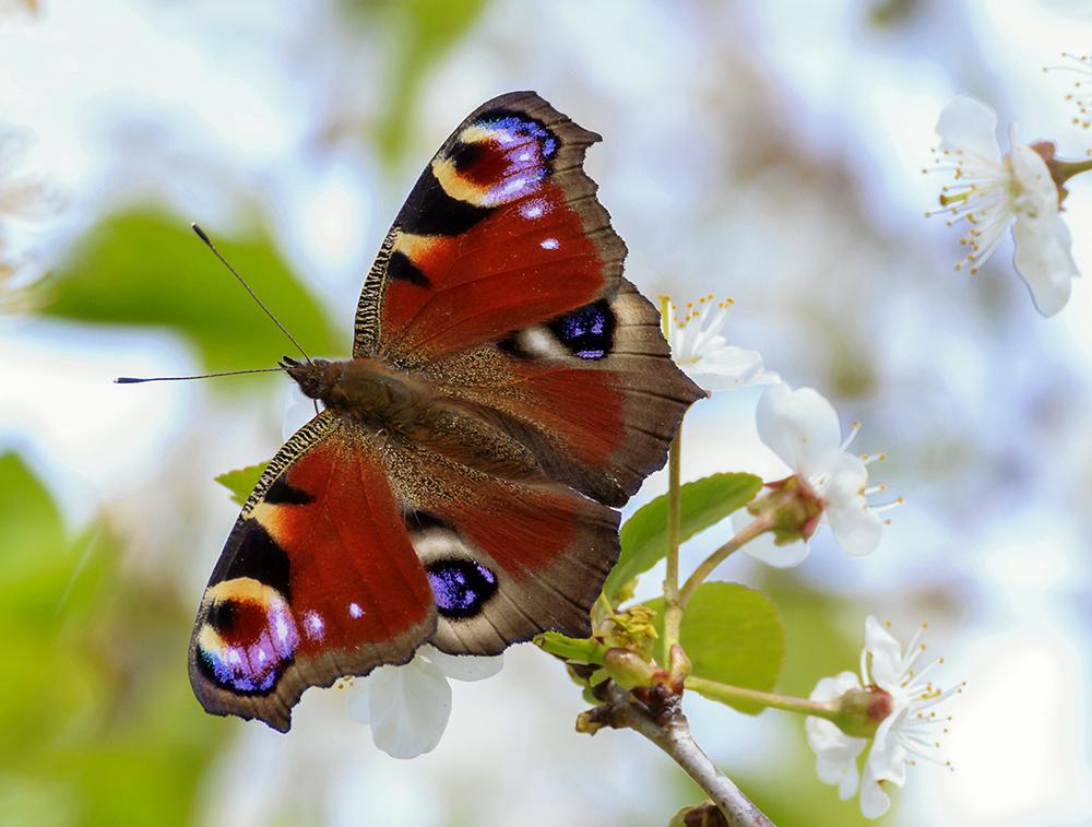 Schmetterling in der Kirschblüte