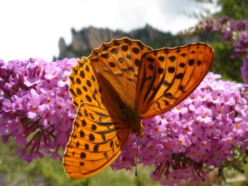 Schmetterling in Frankreich