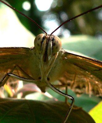 Schmetterling in Frontansicht