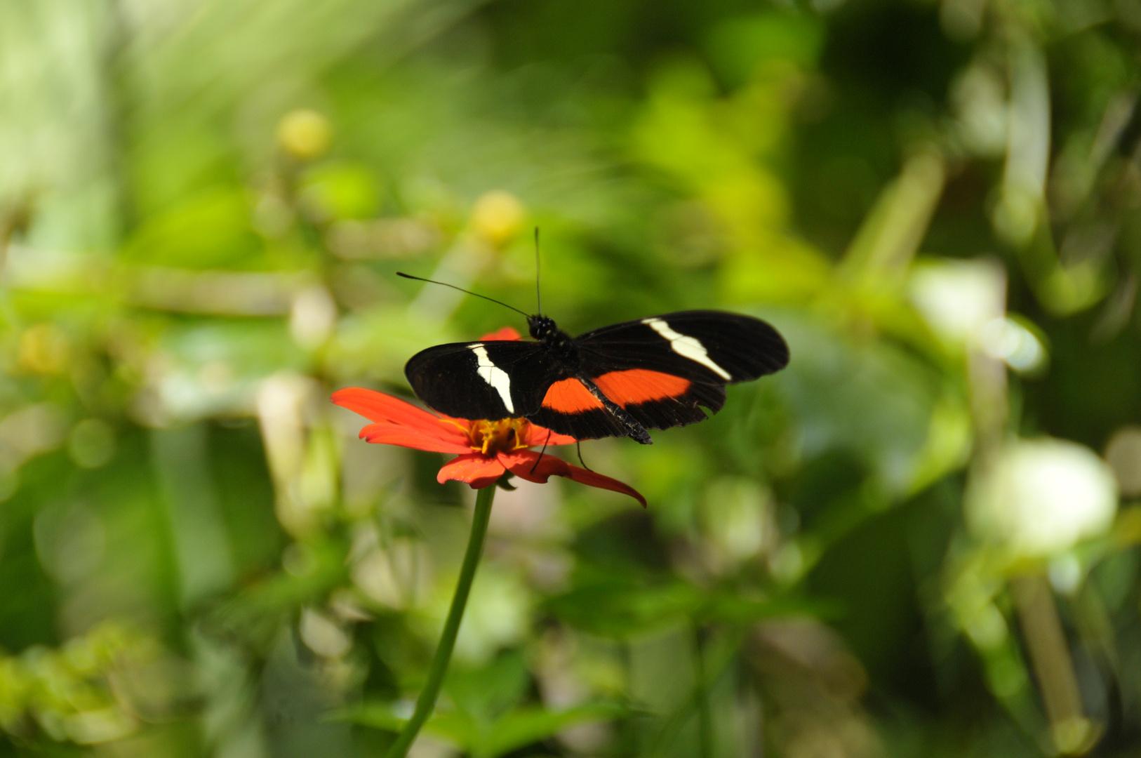 Schmetterling in Monteverde