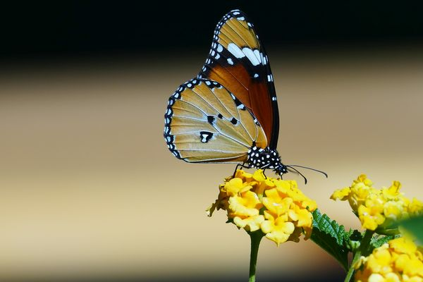 Schmetterling in Namibia