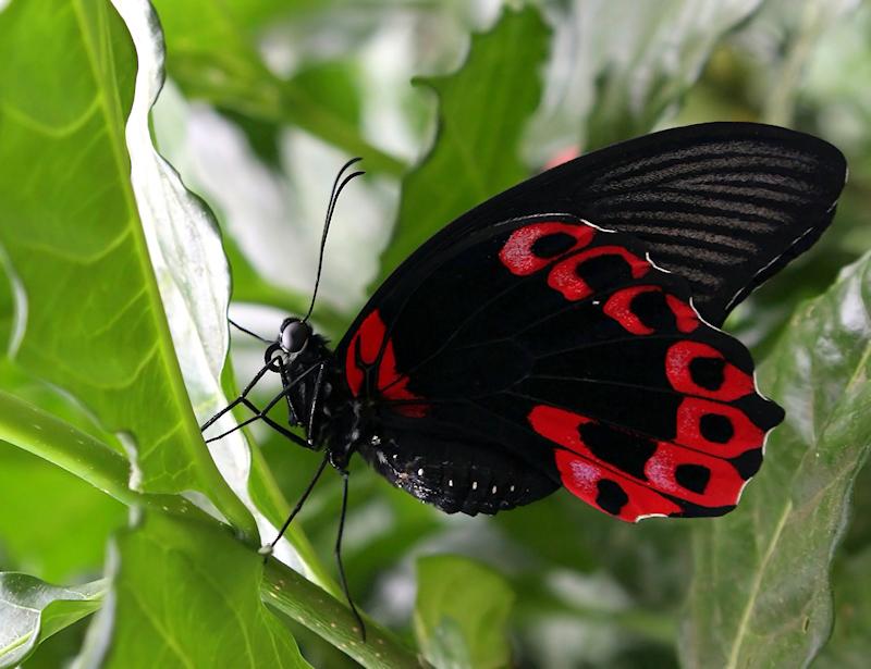 Schmetterling IV