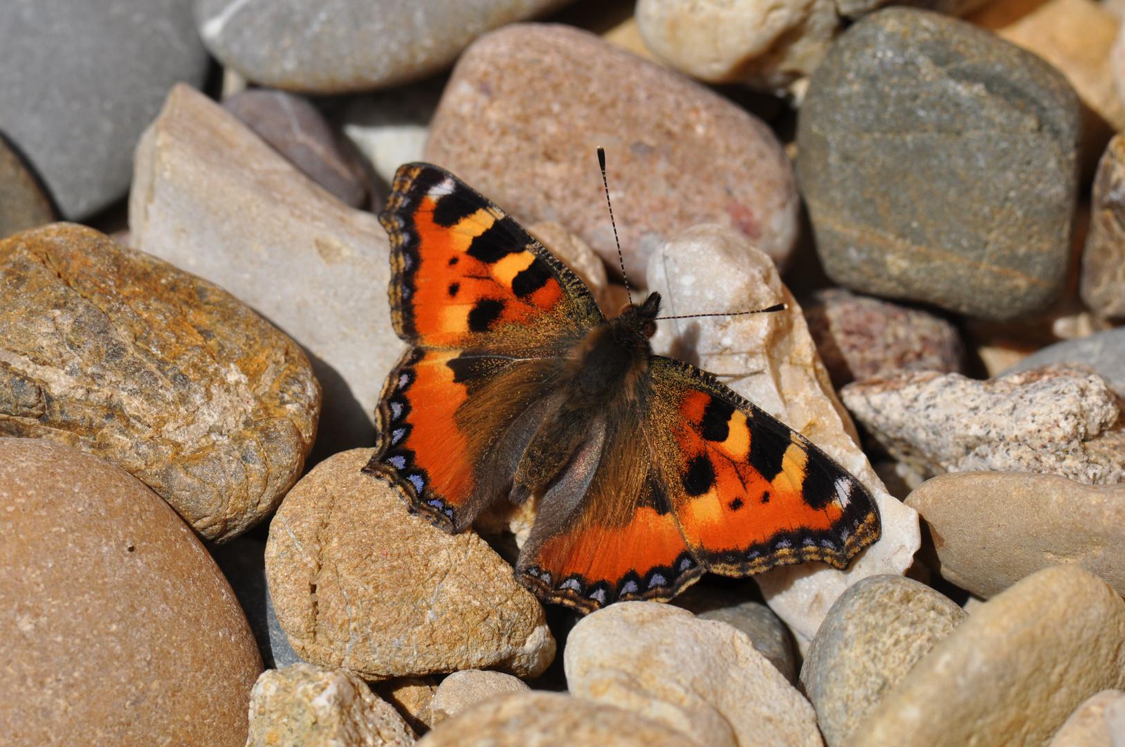 """Schmetterling """"kleiner Fuchs"""" auf Steinen"""