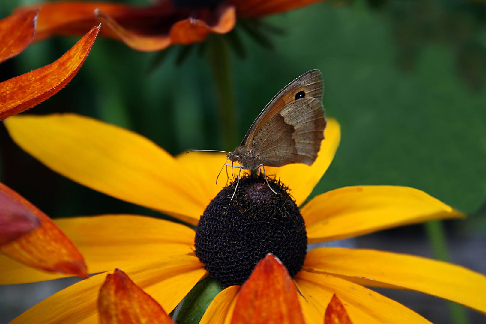 Schmetterling - Kleiner Heufalter