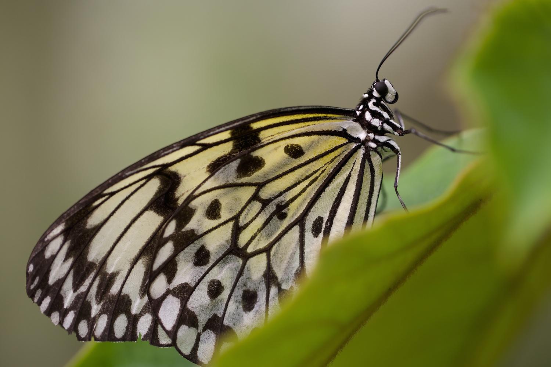 Schmetterling Kopf