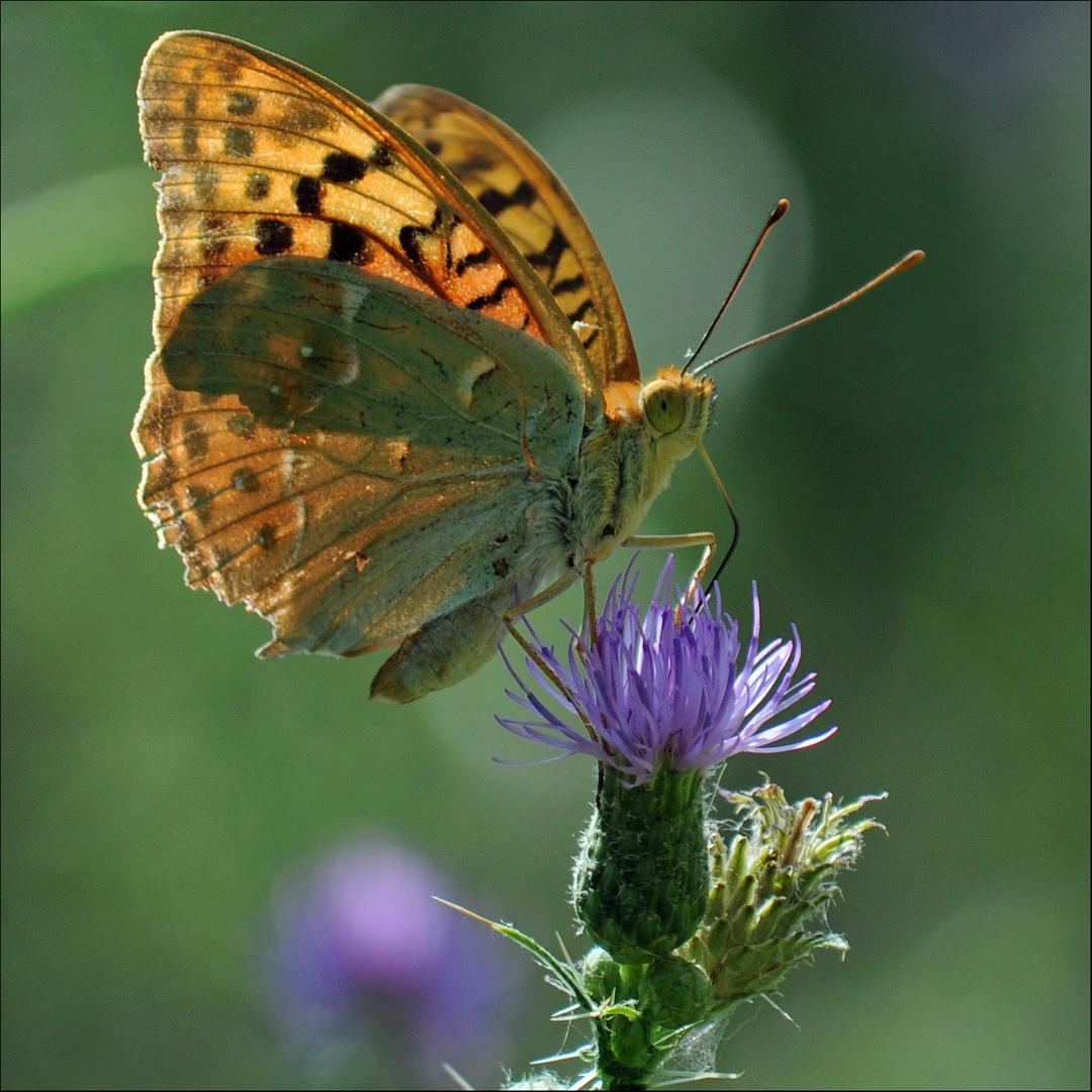 Schmetterling Krka II