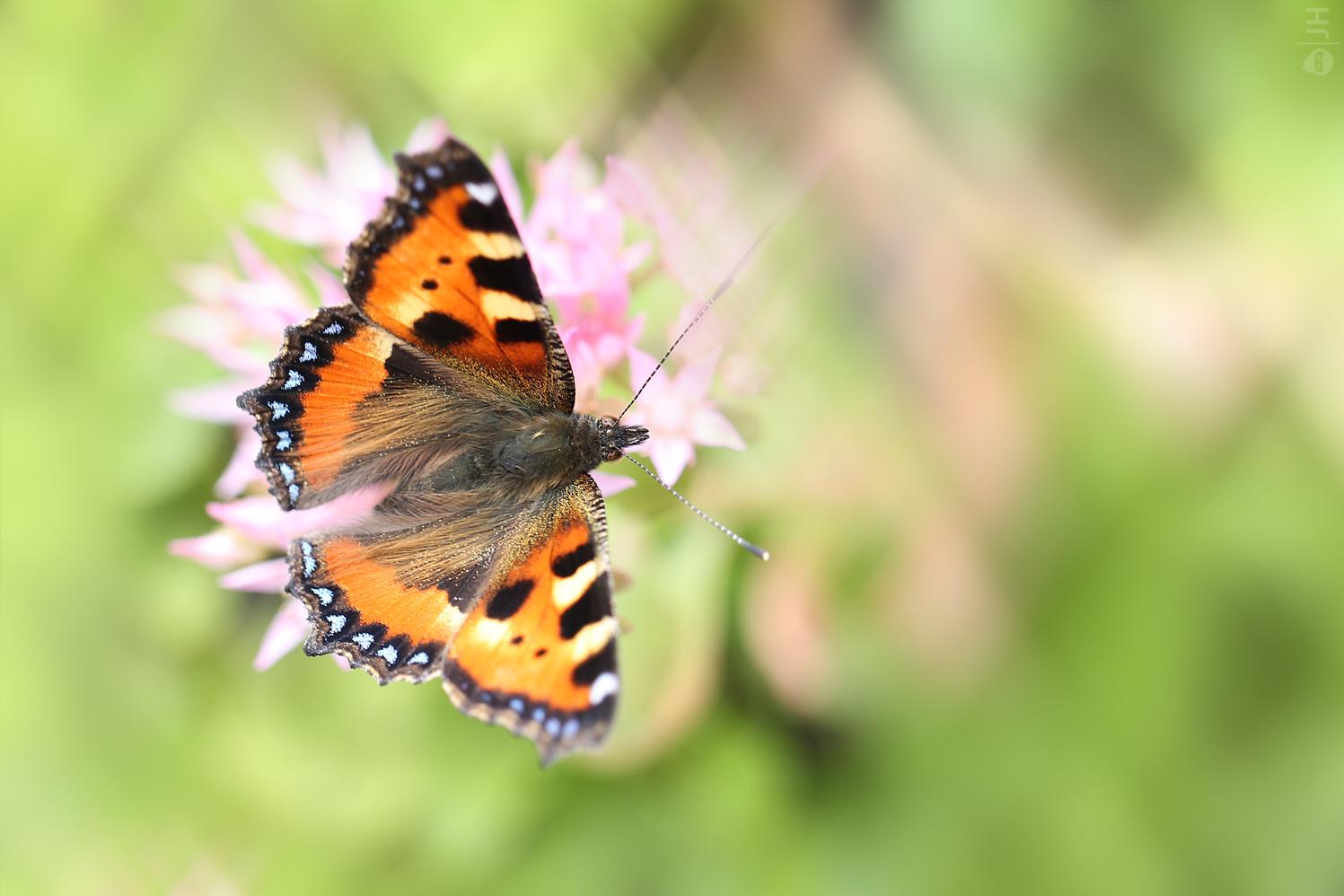 Schmetterling l 03.07.2013