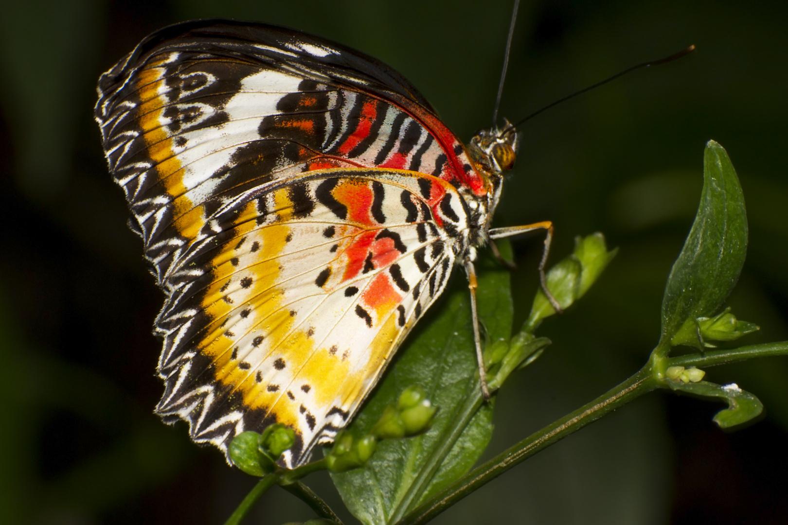 Schmetterling Leopardennetz
