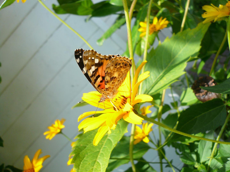 Schmetterling - letzter Besucher