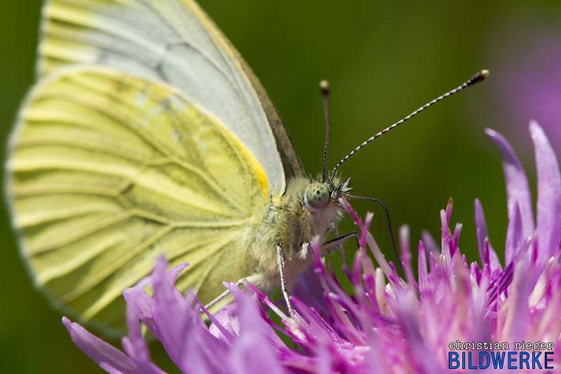 Schmetterling Macro
