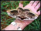 Schmetterling männlich