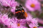 Schmetterling Makro [2]